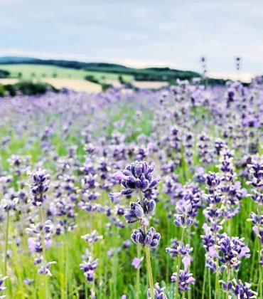 Lavendelfelder in Deutschland? Bio-Lavendelöl aus Detmold? Mein erstes Date mit dem Taoasis Lavendel!